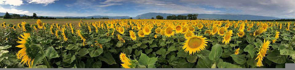 Sunflower, Field, Flower, Yellow, Nature, Agriculture