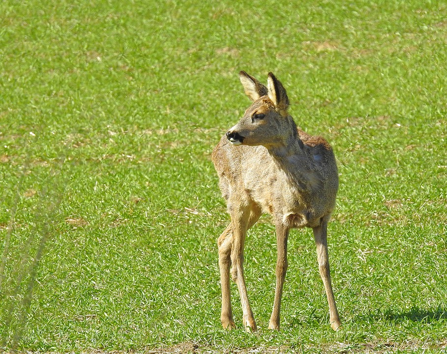 Animals, Nature, Field, Sarna