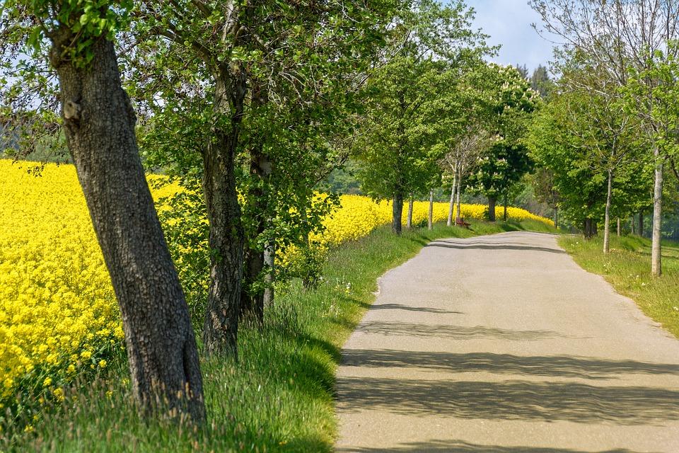 Road, Avenue, Trees, Oilseed Rape, Field, Asphalt