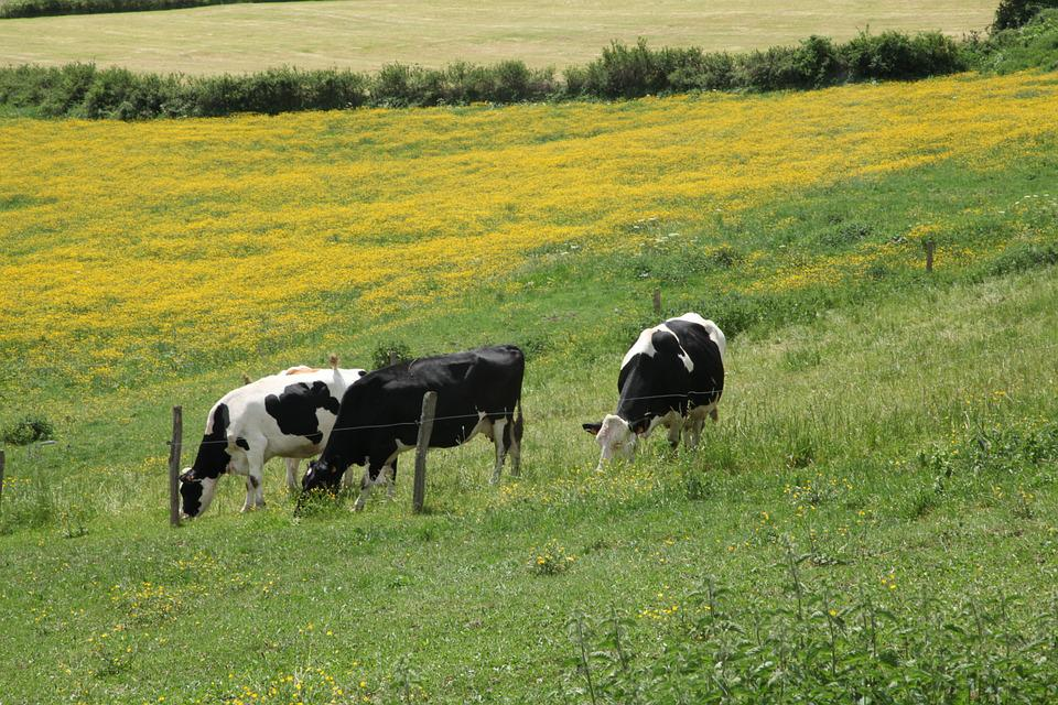 Auvergne, Cows, Pre, Field, Cattle, Mountain, Hiking
