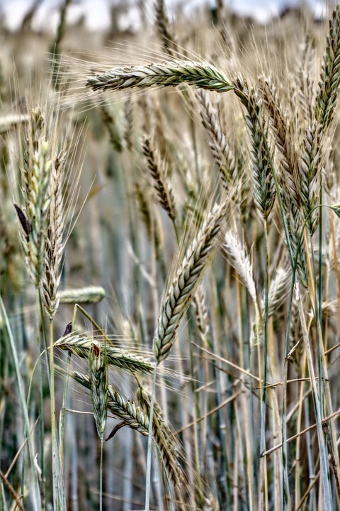 Cereals, Wheat, Barley, Field, Harvest, Summer
