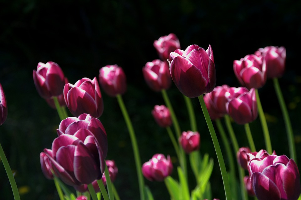 Flowers, Tulips, Field, Purple Flowers, Bloom, Blossom