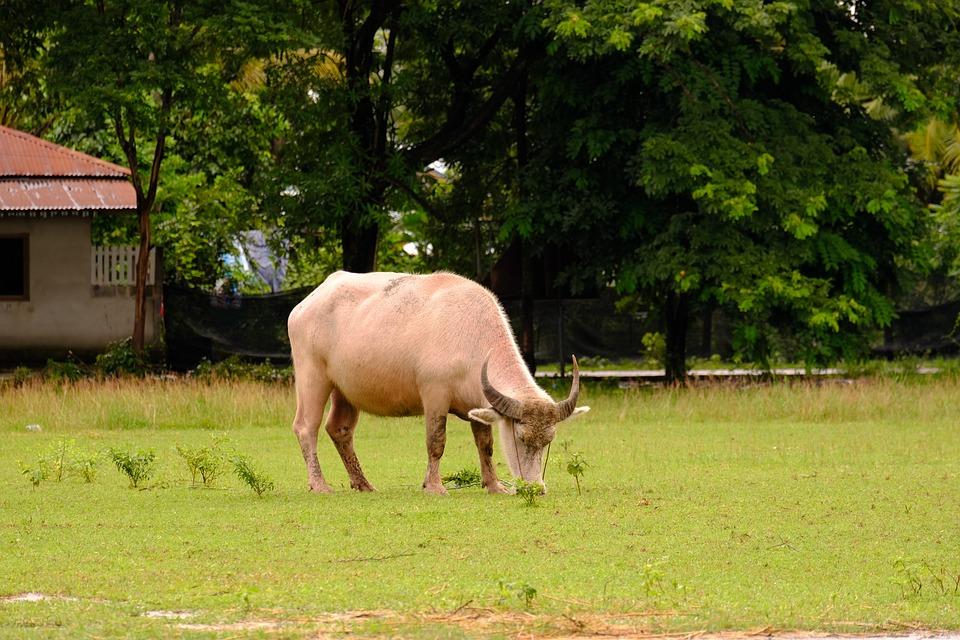 Animal, Cow, Cattle, Farm, Grass, Field, Pasture