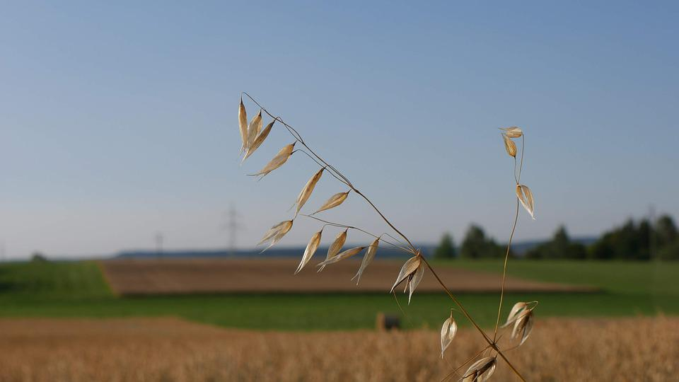 Field, Cereals, Agriculture, Cornfield, Nature
