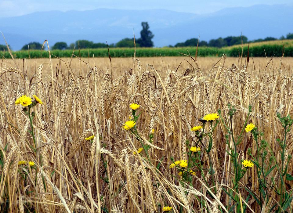 Barley, Agriculture, Flowers, Field, Cereals, Grain