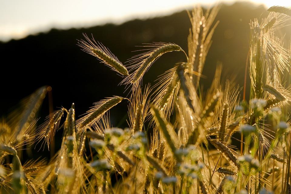 Cereals, Spike, Barley Field, Grain, Barley, Field
