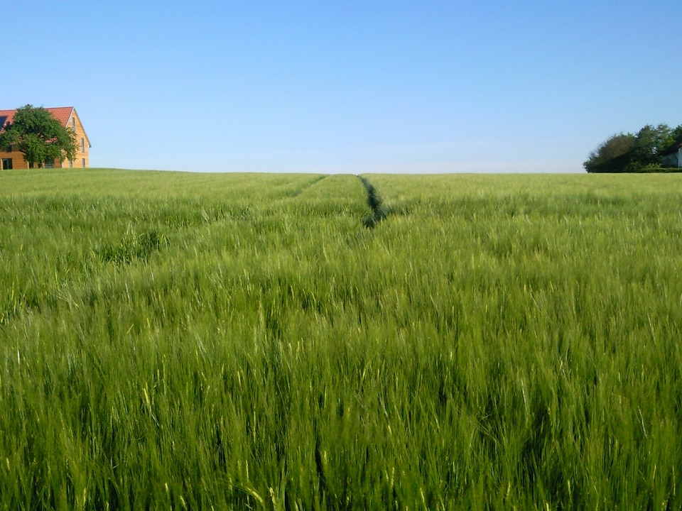Field, Cereals, Nature