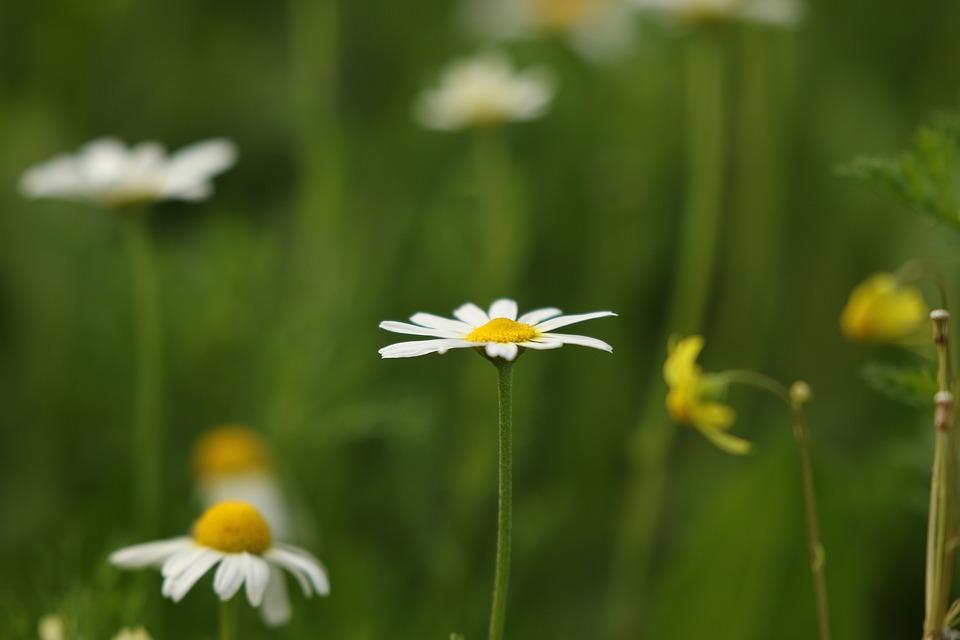 Flowers, Wild Flowers, Field, White, Chamomile, Winter