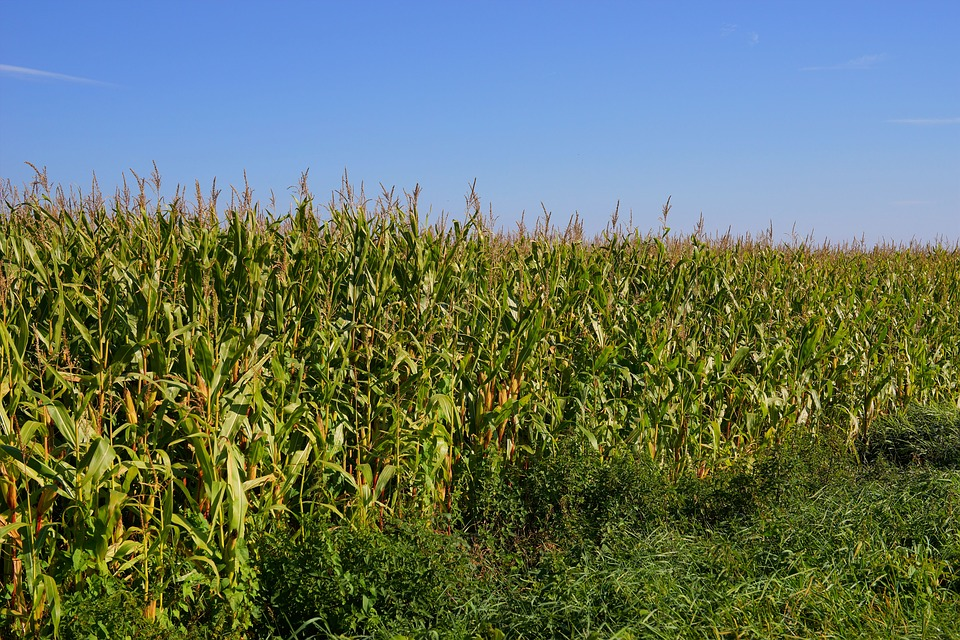 Field, Cornfield, Agriculture, Cattle Feed, Corn