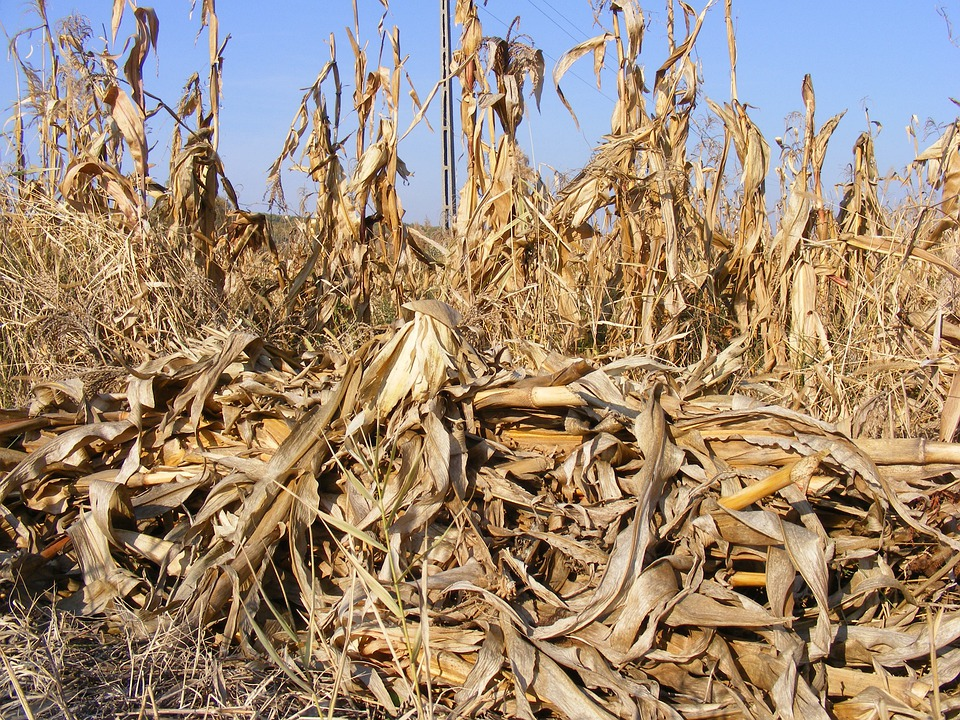 Agriculture, Corn, Dried, Fall, Field, Stalks, Autumn