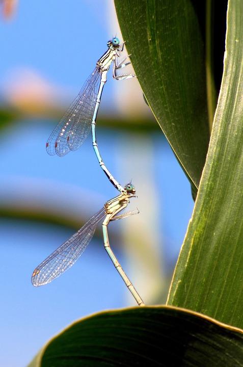 Bridesmaids, Dragonflies, Coupling, Wings, Field, Grass