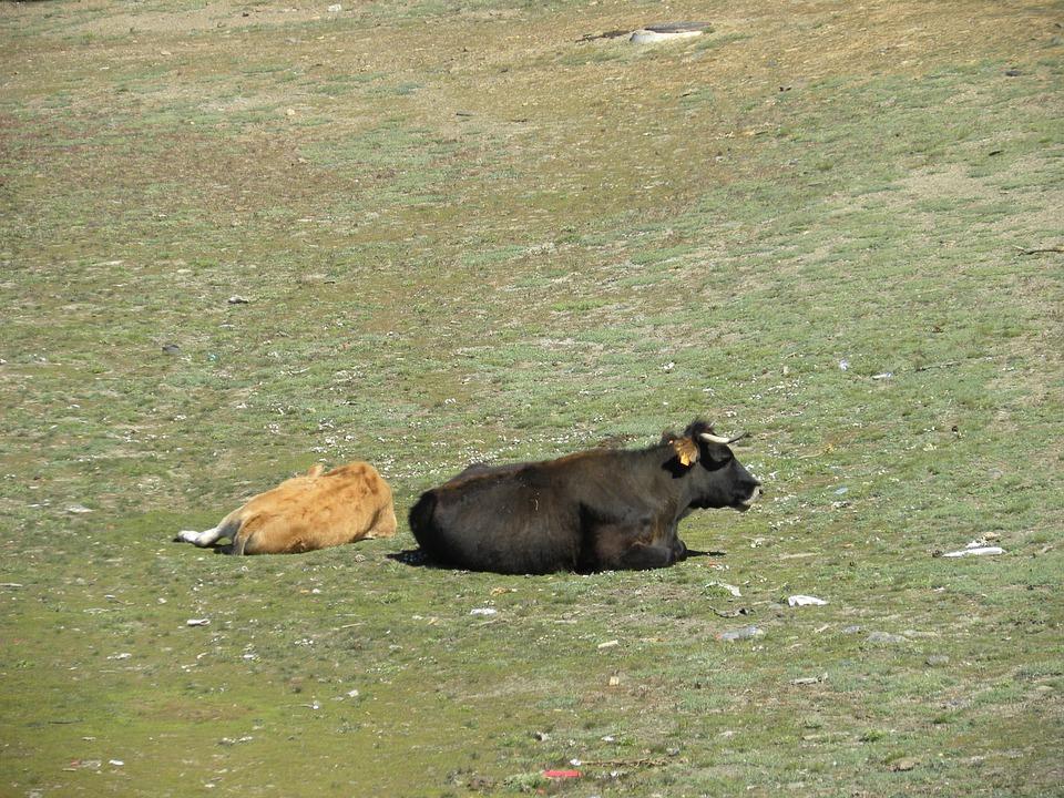 Cows, Field, Toro