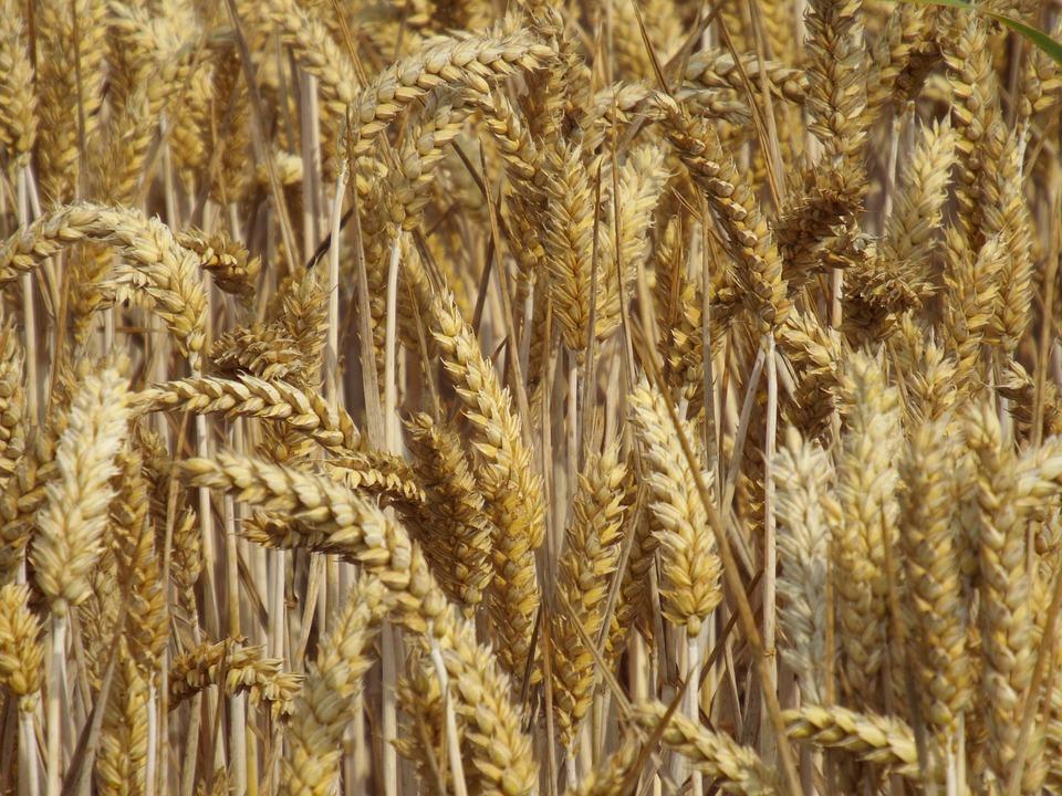 Harvest, Cereals, Field, Field Crops, Spike, Cornfield