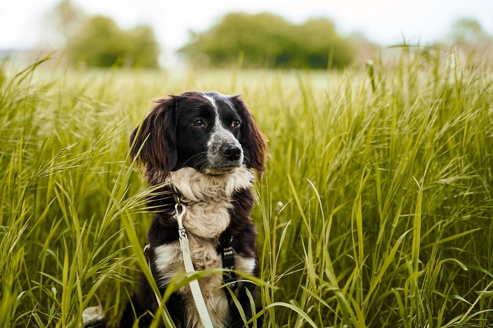 Dog, Field, Green, Animal, Nature, Pet, Grass
