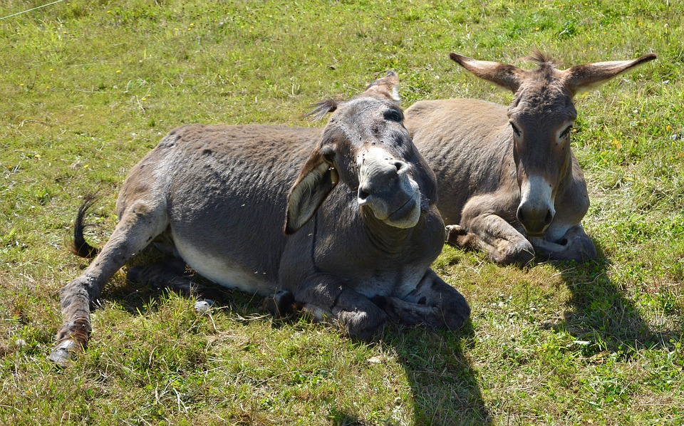 Donkeys, Donkeys Sleep, Prairie, Field, Pre, Rest