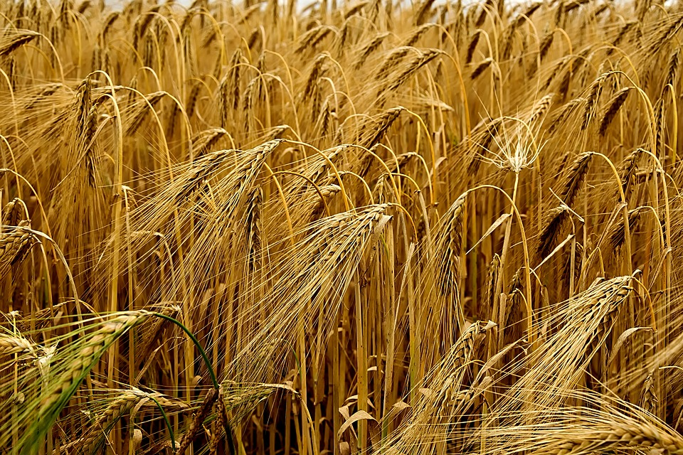 Cereals, Field, Barley, Ear