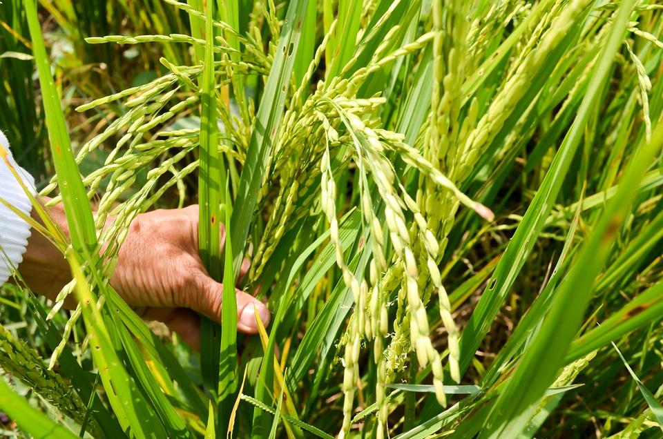 Rice, Field, Vietnam, Farmer, Bali, Green, Asia