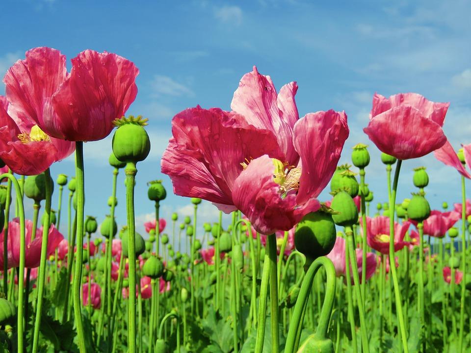 Poppy, Opium Poppy, Field, Field Of Poppies