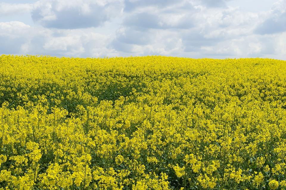 Flower, Canola, Season, Yellow, Field, Background