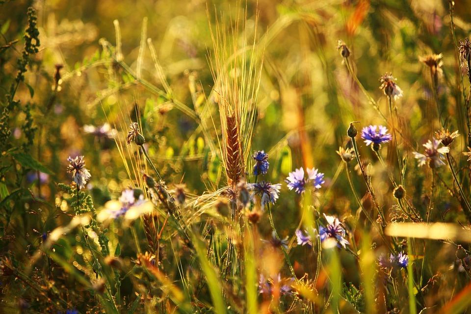 Flower, Summer, Field, Meadow, Cornflower, Barley