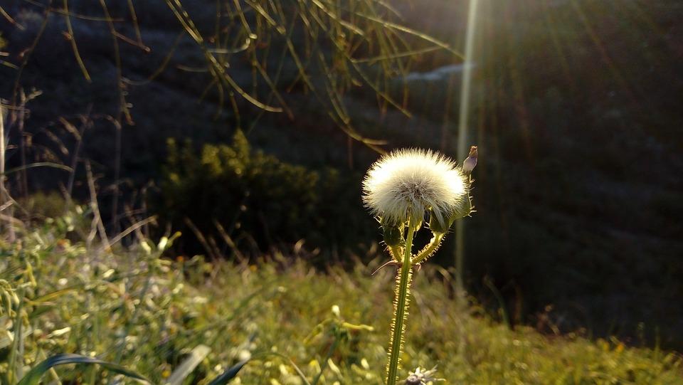Dandelion, Flower, Ray Of Light, Field, Nature, Plant