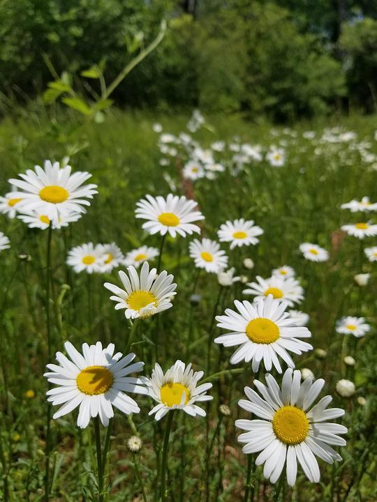 Field, Green, Grass, Flower, Daisy, Wildflower, White