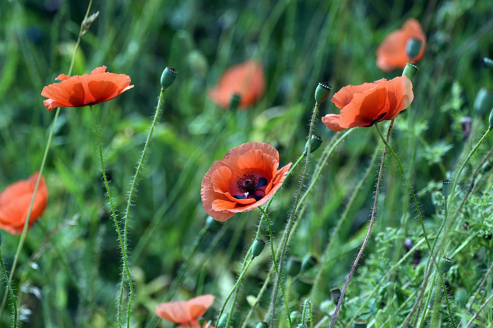 Poppy, Poppies, Summer, Flower, Meadow, Field, Red