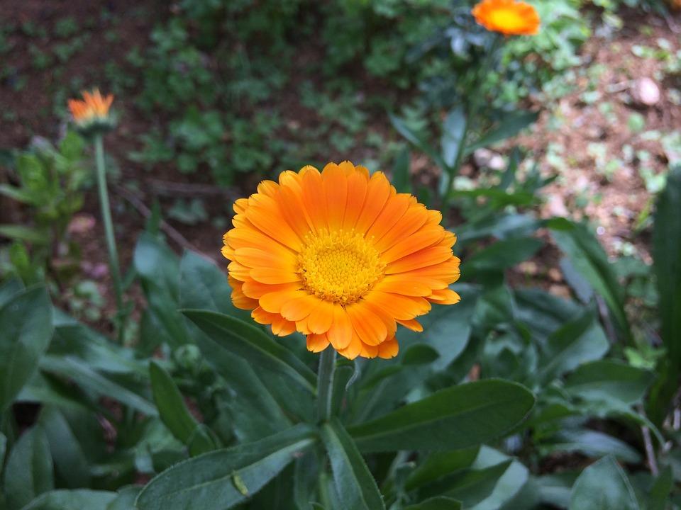 Plant, Nature, Flower, Garden, Summer, Orange, Field