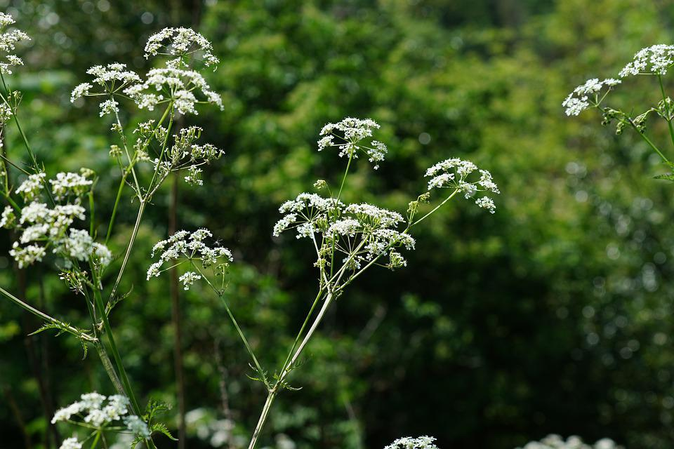 Flowers, Cow Parsley, Field, Countryside, Spring, Flora