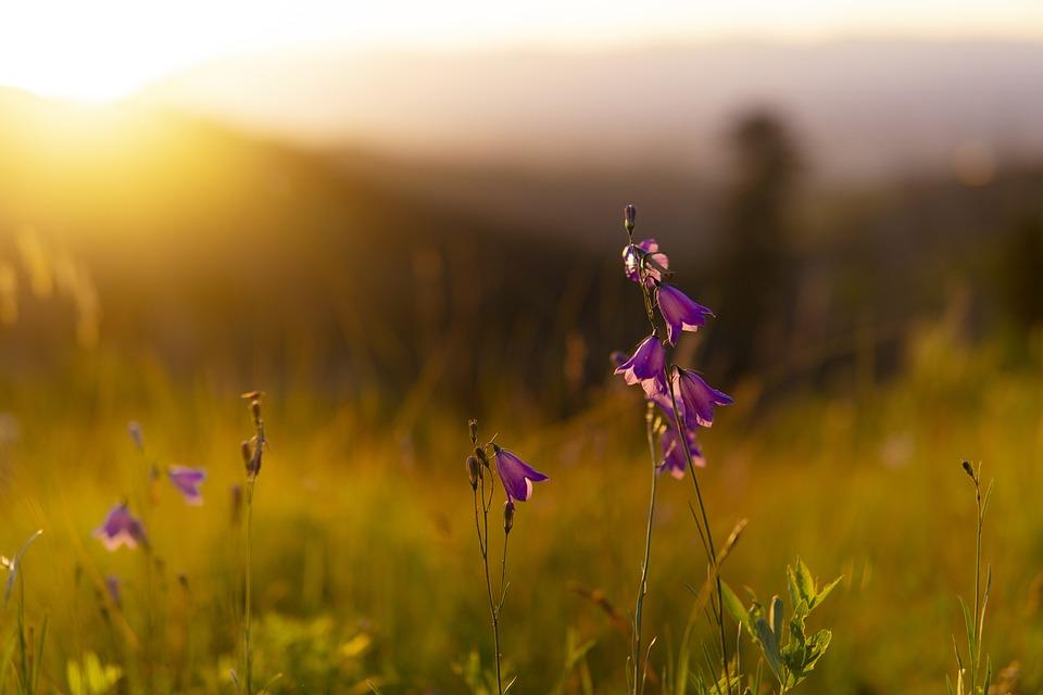 Flowers, Field, Sunset, Sunrise, Wild Flower, Dawn