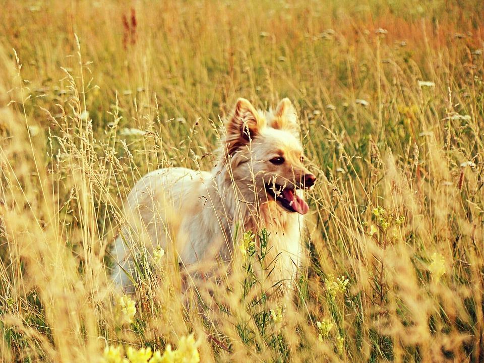 Redhead, Dog, Field, Steppe, Plants, Flowers