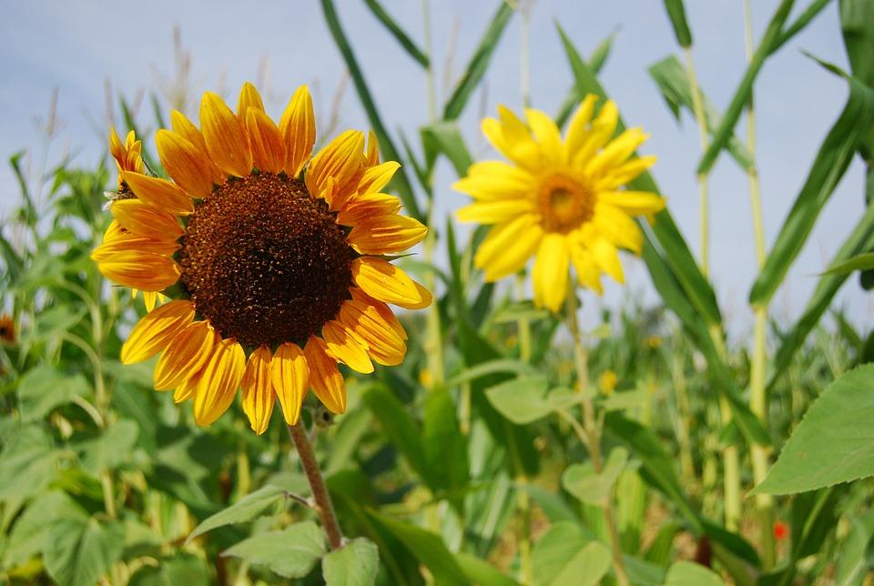 Sunflower, Plants, Flowers, Field, Fall, Autumn