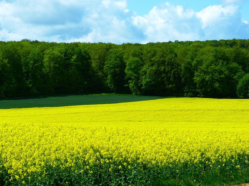 Field, Field Of Rapeseeds, Forest, Yellow Green, Spring