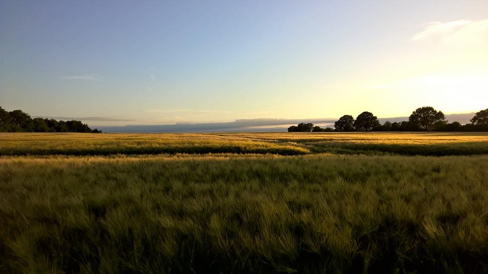 Sunset, Cornfield, Gold, Landscape, Field, Nature