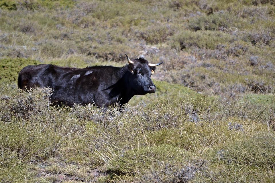 Granada, Monachil, Cow, Prado, Green, Field, Prairie