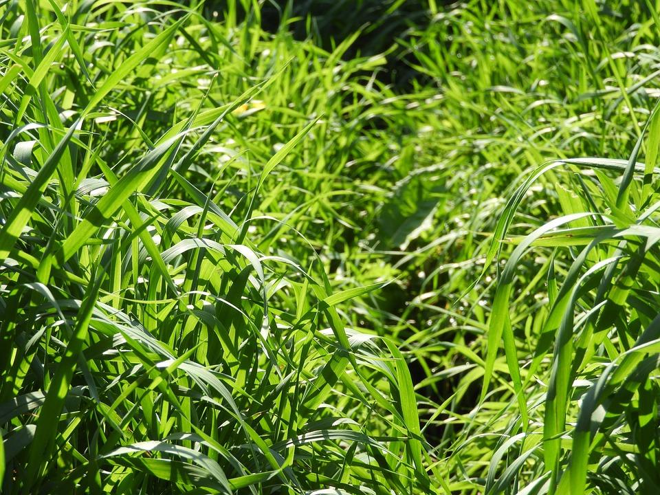 Big Grass, Grass, Plant, Green, Nature, Meadow, Field