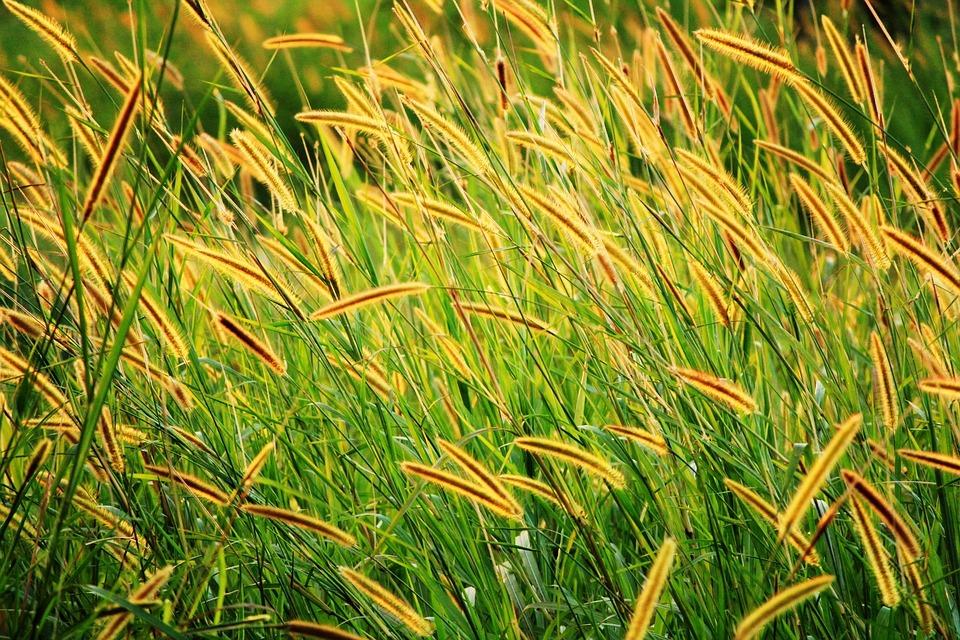 Grass Seed, Golden Seeds, Long Seeds, Brown Seed, Field