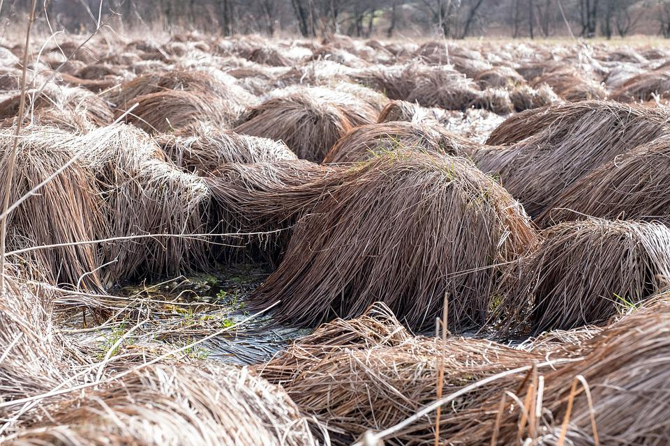 Nature, Straw, Hay, Grass, Field, Moist, Why, Swamp
