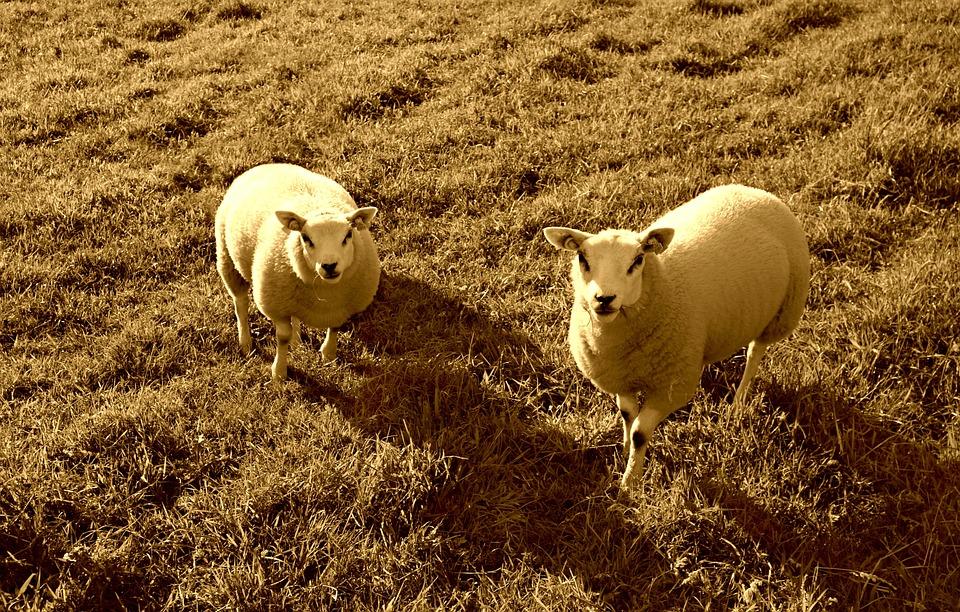 Sheep, Animal, Mammal, Livestock, Grazing, Field