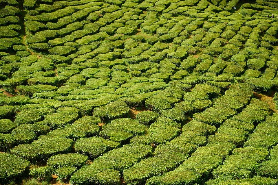 Green, The Tea Plantations, Field, Magnificent, Great