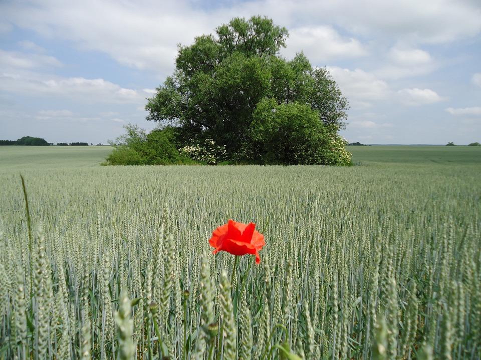 Field, Tree, Grain, Green, Red Weed, Poppy