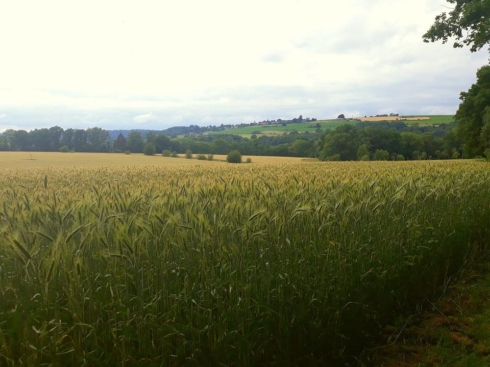 Cornfield, Nature, Landscape, Agriculture, Field