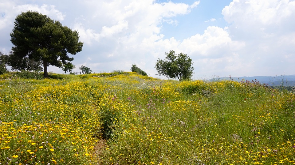 Field, Israel, Wild Flowers, Tree, Landscape