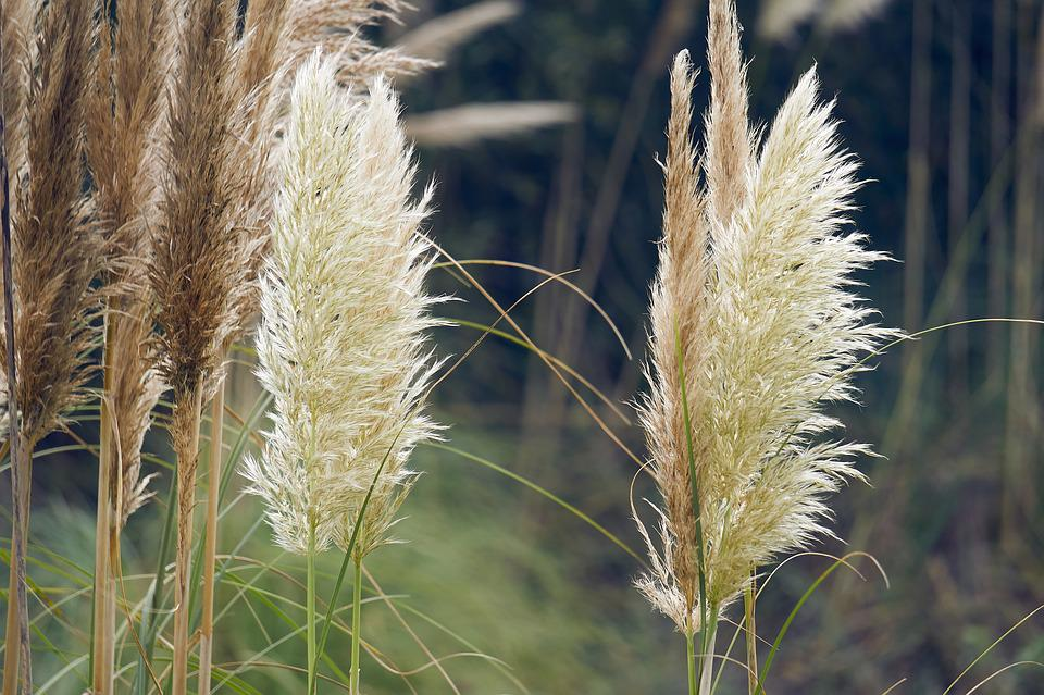 Nature, Summer, Lawn, Reed, Field, Plant, Close Up
