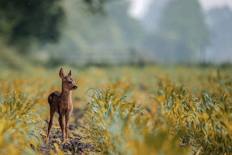 Deer, Animal, Lovely, Baby, Nature, Field