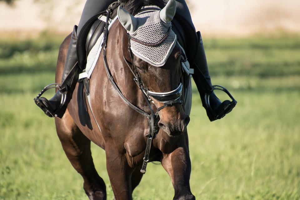 Saddle Horse, Animal, Field, Horse, Mammal, Equine