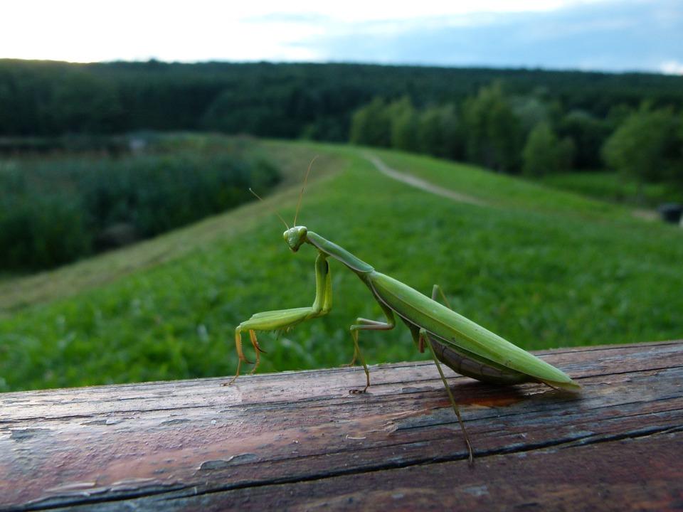Mantis, Watching, Field, Twilight, Félprofil