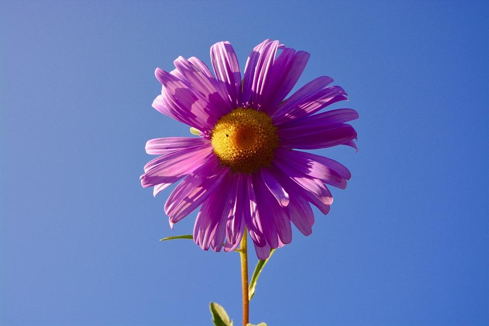 Flower, Marguerite, Color Parma, Garden, Field, Petals