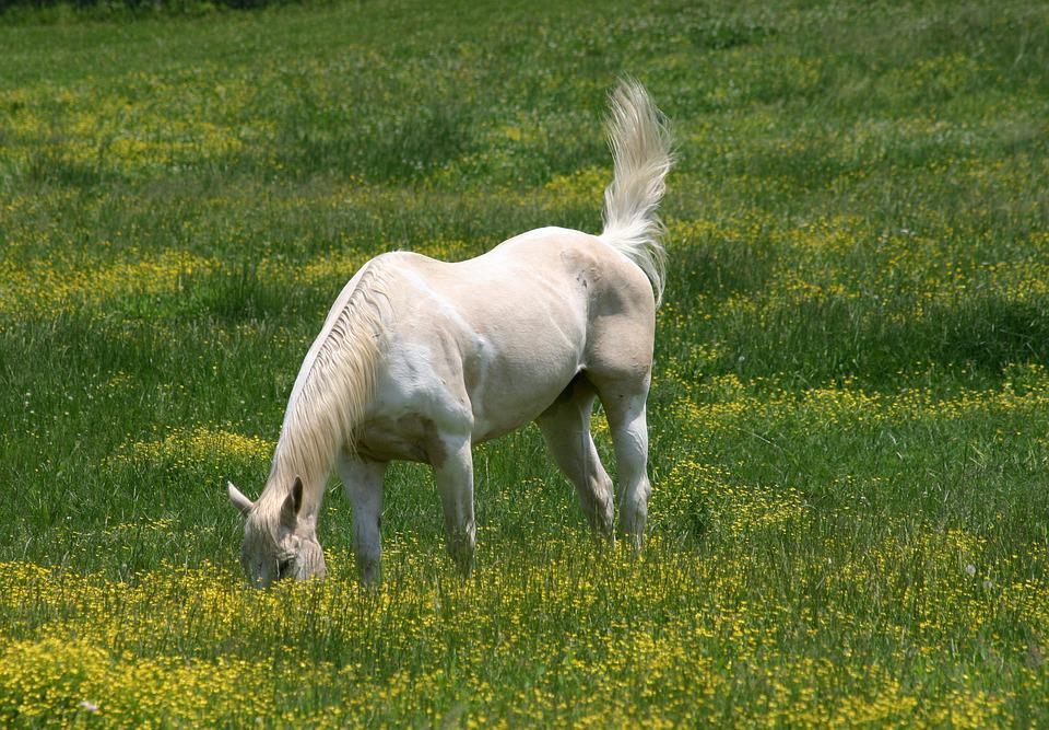 Horse, Field, Graze, Grazing, Animal, Grass, Meadow