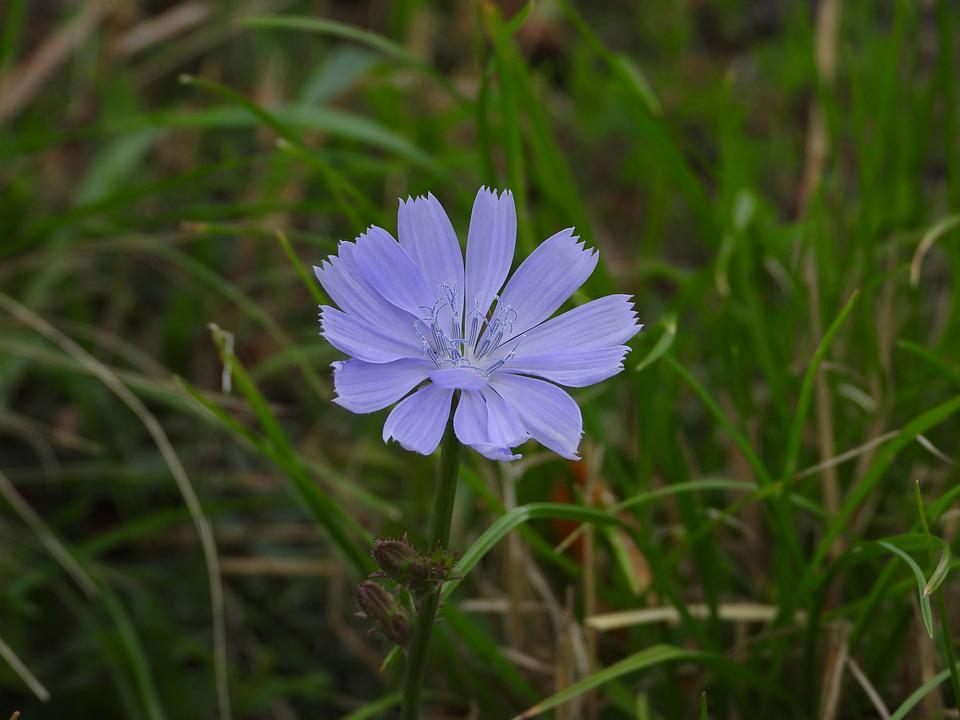 Flower, Blue, Field, Nature, Plant, Macro, Meadow